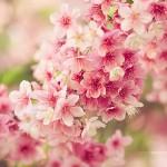 Hoa anh đào 2