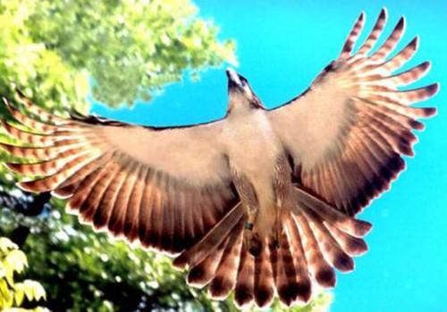 Đại bàng - biểu tượng của Philippines