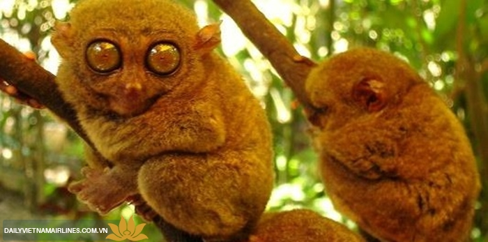Loài khỉ lùn Tarsier