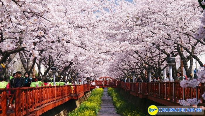 Con đường hoa anh đào tại Jinhae