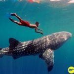Bơi cùng cá mập voi tại thị trấn Oslob