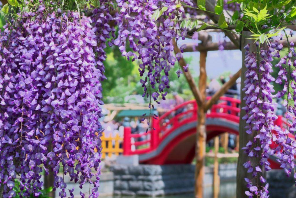 Tháng 5 mùa hoa tử đằng về